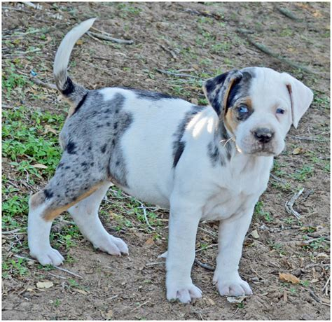 Catahoula Bulldog - Breeders, Puppies, Pictures, Facts