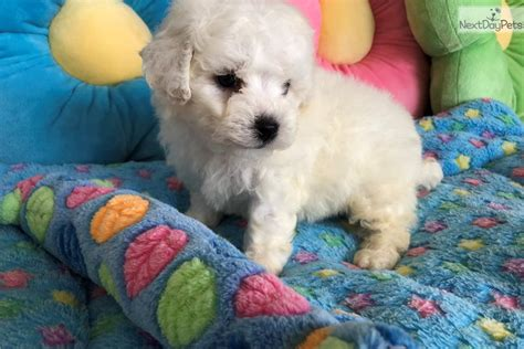 """""""Ethan"""" : Bichon Frise puppy for sale near Tampa Bay Area"""