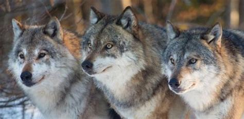 What Wolf Breed Are You? - ProProfs Quiz
