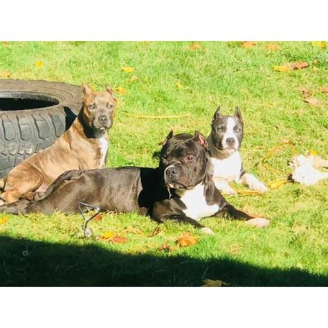 American bully 8 month old in Portland, Oregon - Puppies