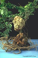 Agrobacterium: The Natural Genetic Engineer 100 Years Later